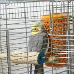 オカメインコの飼い方の悩み、寒さ対策