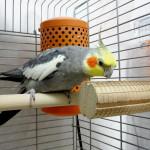 オカメインコはビビリな鳥ということを証明した風太